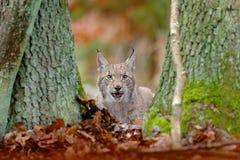 Lince eurasiático, retrato del gato salvaje ocultado en hojas anaranjadas Animal salvaje ocultado en el hábitat de la naturaleza, Fotos de archivo