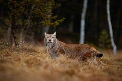 Lince eurasiático en el bosque del hábitat, del abedul y del pino Imágenes de archivo libres de regalías