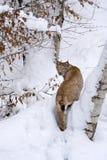Lince eurasiático (lince del lince) en la nieve Imágenes de archivo libres de regalías