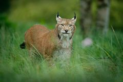 Lince euro-asiático do gato grande na grama verde na floresta checa Imagens de Stock Royalty Free