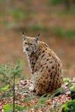 Lince euro-asiático do gato bonito que senta-se na rocha Imagem de Stock Royalty Free