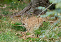 Lince europeo Fotografie Stock