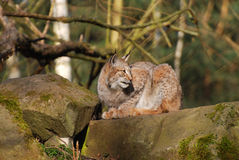 Lince europeo Immagine Stock