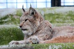 Lince europeo en la jaula de un parque zoológico Imagen de archivo