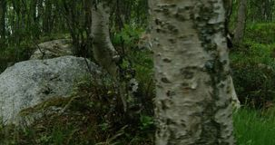Lince europeo que camina en el bosque en una tarde del verano almacen de video
