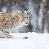 Lince europeu que come a carne Fotografia de Stock Royalty Free