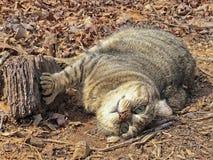Lince Gray Tabby Cat Outdoors das montanhas Fotos de Stock