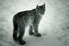 Lince joven en la nieve Imagenes de archivo