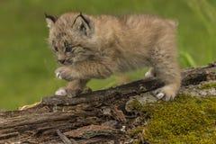 Lince Kitten Exploring Fotografía de archivo