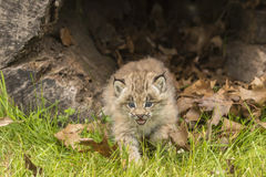 Lince Kitten And Hollow Log Fotos de archivo