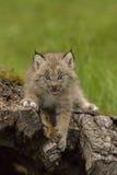 Lince Kitten Meowing Fotografía de archivo