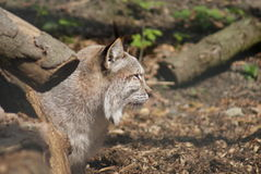 Lince - lynx lynx Immagini Stock Libere da Diritti