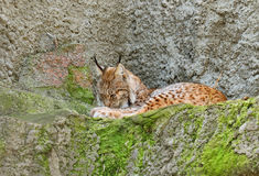 Lince (lynx lynx) Immagine Stock