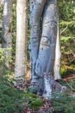 Lince (lynx lynx) nel legno Immagini Stock Libere da Diritti