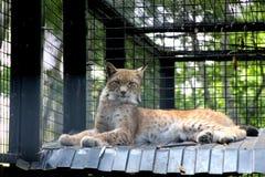 Lince macchiato nello zoo Fotografia Stock Libera da Diritti
