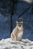 Lince na neve Fotos de Stock Royalty Free