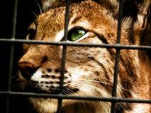 Lince nella prigionia Fotografie Stock Libere da Diritti