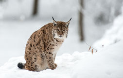 Lince no inverno Foto de Stock Royalty Free