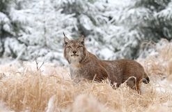 Lince no inverno Fotos de Stock Royalty Free