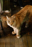 Lince nordico di lynx lynx Animale della fauna selvatica Immagini Stock