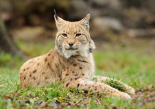 Lince novo Fotos de Stock Royalty Free