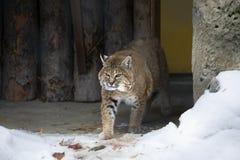 Lince o gatto selvatico rosso Fotografia Stock Libera da Diritti