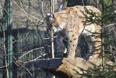 Lince, o lynx lynx Immagini Stock