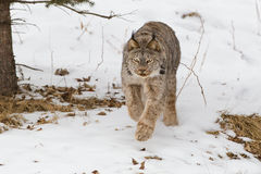 Lince que anda ao longo da floresta no inverno Imagens de Stock