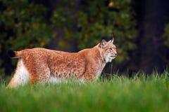 Lince que anda na grama verde Lince selvagem do gato no habitat da floresta da natureza Lince euro-asiático na floresta, escondid Fotos de Stock
