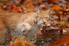 Lince que camina en hojas anaranjadas con agua Animal salvaje ocultado en el hábitat de la naturaleza, Alemania Escena de la faun imágenes de archivo libres de regalías