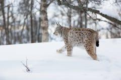 Lince que camina en la nieve Foto de archivo