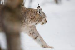 Lince que camina en nieve Imágenes de archivo libres de regalías