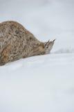 Lince que cava en nieve Imagen de archivo libre de regalías