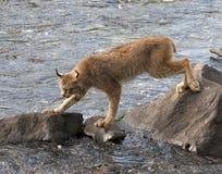 Lince que cruza um rio em rochas Imagens de Stock Royalty Free