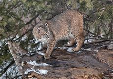 Lince Fotos de Stock