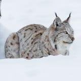Lince que pone en la nieve Imagen de archivo libre de regalías