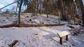 Lince que senta-se na gaiola em Harz nevado Alemanha video estoque