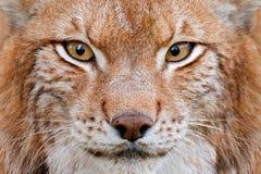Lince, retrato da cara do detalhe com olhos bonitos Pele bonito do lince euro-asiático, animal no habitat Gato selvagem de Aleman imagem de stock