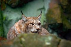 Lince, ritratto del gatto selvaggio nascosto in pietra alla montagna della roccia, animale nell'habitat della natura, Germania Fotografia Stock