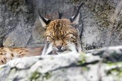 Lince, rufus do lince, sentando-se em rochas cinzentas Imagem de Stock
