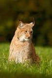 Lince salvaje del gato en el hábitat del prado de la naturaleza Lince eurasiático en el campo, ocultado en la hierba Lince lindo  Fotografía de archivo libre de regalías