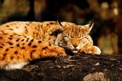 Lince salvaje dormido en un árbol imagenes de archivo