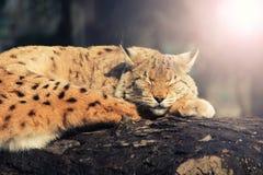 Lince salvaje dormido en un árbol fotos de archivo