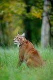 Lince selvagem do gato no habitat da floresta da natureza Lince euro-asiático na floresta, escondida na grama Lince bonito na flo Fotos de Stock