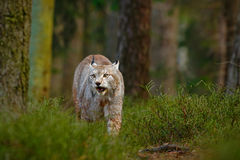 Lince selvagem do gato no habitat da floresta da natureza Lince euro-asiático na floresta, escondida na grama Lince bonito na flo Fotografia de Stock Royalty Free