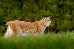 Lince selvagem do gato no habitat da floresta da natureza Lince euro-asiático na floresta, escondida na grama Lince bonito na flo Imagens de Stock