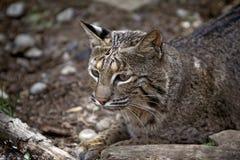 Lince selvaggio Rufus del gatto selvatico Immagini Stock Libere da Diritti