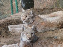 Linci Parco Faunistico Spormaggiore Trentino Alto Adige. A eurasian lynx taken from parco faunistico spormaggiore - trentino alto adige in italy royalty free stock photos
