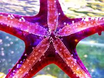 Linckii vermelho de Protoreaster da estrela de mar do botão imagem de stock
