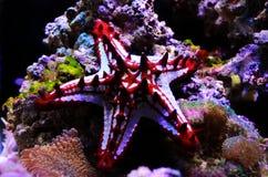 Linckii vermelho de Protoreaster da estrela de mar do botão fotografia de stock